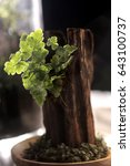 Small photo of a type of fern call Adiantum in wood-pot