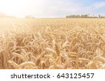 golden wheat on a field in warm ...   Shutterstock . vector #643125457