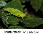 Leaf Katydid Is Sitting On A...