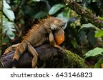 Green Iguana Sitting On A...