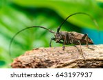 Small photo of Left view of brown Spined Oak Borer Longhorn Beetle (Arthropoda: Insecta: Coleoptera: Cerambycidae: Elaphidion mucronatum) crawling on a tree branch isolated with buttery, smooth, green background