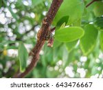parasitic plant or mistletoe on ... | Shutterstock . vector #643476667