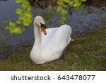 Swan Sitting Beside Of Pond...