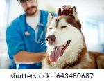 cute husky enjoying while... | Shutterstock . vector #643480687