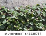 Branches Of Cotoneaster With...