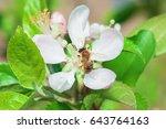 bee pollinating blooming apple... | Shutterstock . vector #643764163