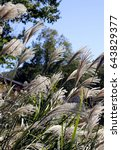 Tassel Plants With Blue Sky...