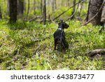 young black dachshund on an... | Shutterstock . vector #643873477