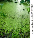 Small photo of Pond full covering to green azolla in nature background, A plant float on water.