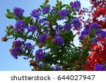 Small photo of California Lilac Ceanothus Thyrsiflorus