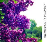 blooming lilac. spring...   Shutterstock . vector #644069107