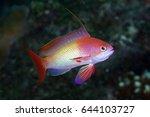 beautiful anthias fishes around....   Shutterstock . vector #644103727