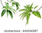mango green leaves and branches ... | Shutterstock . vector #644246587