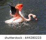 Chilean Flamingo ...