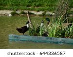 three ducks on the grass... | Shutterstock . vector #644336587