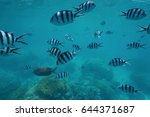 Small photo of Shoal of fish scissortail sergeant, Abudefduf sexfasciatus, underwater over a coral reef, south Pacific ocean, New Caledonia