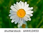 Big White English Daisy Flower...