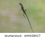 Small photo of Although often kept as a pet, this green Carolina anole lizard on the screen of a home is wild, and must compete with non-native Cuban brown anoles.