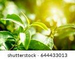 green tea leaves in garden tea... | Shutterstock . vector #644433013
