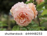 beautiful yellow  pink  and... | Shutterstock . vector #644448253