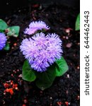 Small photo of Close up of ageratum flower