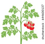 tomato plant vector illustration | Shutterstock .eps vector #644600137