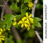Small photo of Buffalo or Golden currant, Ribes aureum, flowers close-up with bokeh background, selective focus, shallow DOF.