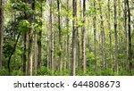 teak  tectona grandis  summer... | Shutterstock . vector #644808673
