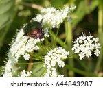 rose chafer   cetonia aurata ... | Shutterstock . vector #644843287