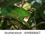 green chameleon of madagascar | Shutterstock . vector #644868667