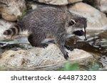 newborn raccoon  procyon lotor  ...   Shutterstock . vector #644873203
