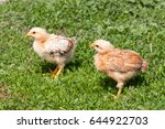 two yellow baby chicken in the... | Shutterstock . vector #644922703