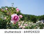 Stock photo roses garden 644924323