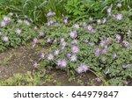 Anemone Blanda 'violet Star' ...