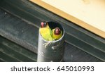Small photo of Two Wild Yellow-collared Lovebirds (Agapornis personatus) at a Nest in a Pipe in Northern Tanzania