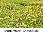 common purslane  verdolaga ... | Shutterstock . vector #645056683