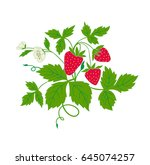 strawberry with ripe fruits and ... | Shutterstock .eps vector #645074257