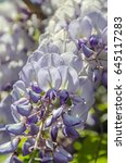 Small photo of Mauve violet Wisteria bush climbing flowers, outdoor close up, Fabaceae family.