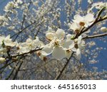 blooming flowers of prunus... | Shutterstock . vector #645165013