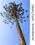 ceiba or kapok tree  ceiba... | Shutterstock . vector #645176983