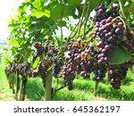 vineyards | Shutterstock . vector #645362197