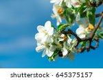 Cherry Blossom In Spring For...