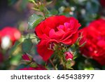 Stock photo rose garden 645438997