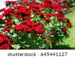 Stock photo rose garden 645441127