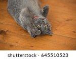 Gray Cat Lying On The Floor ...