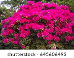 big pink azalea bush in the...   Shutterstock . vector #645606493