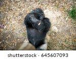 silverback gorilla laying on it ... | Shutterstock . vector #645607093