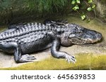 Small photo of American alligator / Alligator mississippiensis