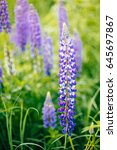 blooming lupine flowers ... | Shutterstock . vector #645697867