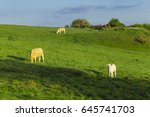 cows grazing on grassy green... | Shutterstock . vector #645741703